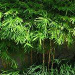 Franquicia y el Bambú Japonés